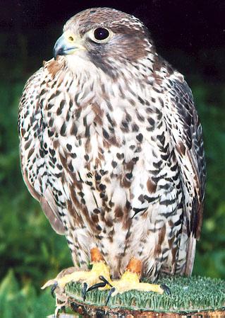 Эта фотография вы сможете посмотреть в каталоге: птица беркут фото.